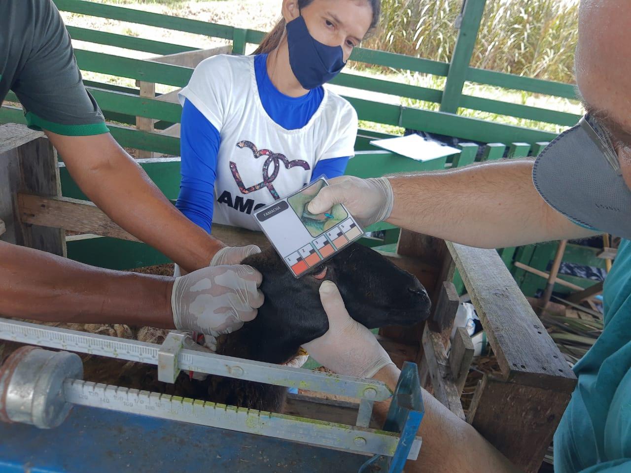 Equipe do campus realiza manejo zootécnico de rotina no rebanho de ovinos e caprinos